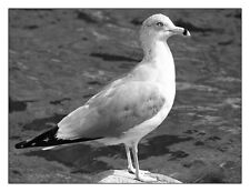 """Seagull And Water In Black And White 12"""" x 16"""" Fine Art Print"""