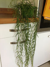 Hoya Linearis Wax Plant x 1 well rooted cutting