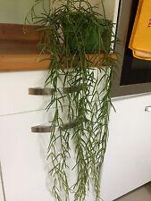 Hoya linearis Cire Végétale x 1 bien raciné