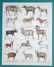 Mammals Tapis Zebra Warthog Antelope Wild Ass etc - 1843 Hc Color Print