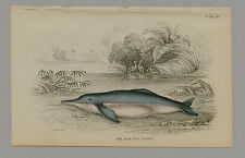 INIA AMAZON RIVER DOLPHIN HAND-COLORED PRINT JARDINE NATURALISTS LIBRARY C. 1875