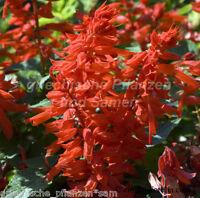 🔥 Feuer-Salbei * 20 Samen ** Salvia Splendens ** knallrot 🔥