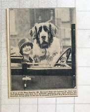 1923 Huge St Bernard Dog Dwarfs Its Mistress In Car On Way To Crufts