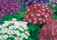 Cineraria Miranda Mix Seed