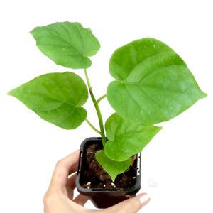 FICUS UMBELLATA - Small Indoor Outdoor Plant Houseplant