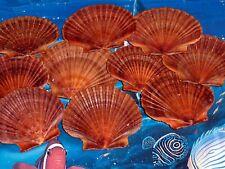 "12 Mexican Flat Scallop Shells Seashells Large 3"" Crafts Coastal Beach Cottage"