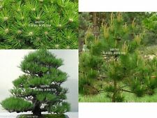 Pinus densiflora 15 Seeds Japanese Red Pine Tree Bonsai or standard gardening