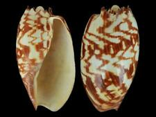 Melo amphora - Shells from all over the World NEW!!!