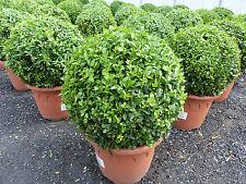 30 - 35 cm Durchmesser, Buchsbaum Buxus Sempervirens im Deko-Topf, Bux Kugel