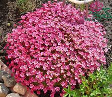 Saxifraga arendsii Rose Robe 50 seeds CombSH B42