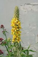 Organic Non-Gmo MULLEIN 25+seeds wild edible plant soft leaves and yellow flower