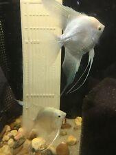 6 Platinum Pearlscale angelfish - Dime size