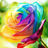 Rainbow Rose Seeds Colorful Rose Seeds Rare Holland Rainbow Rose Flower Seeds