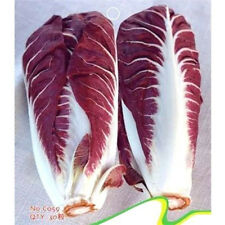 FD2476 Chicory Curly Endive Cichorium Seed Organic Vegetables ~1 Pack 30 Seeds~♫