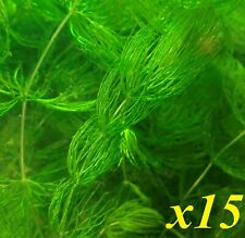 New listing 15 Branches of Hornwort Live Freshwater Plants