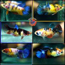 New listing Live Betta Fish Set x6 Fancy Multi-Color Koi Halfmoon Plakat Females Mixed
