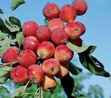 Miniapfel Gruschowka Omskaj, Kitaika, Apfelbaum Sibirische Renette, Грушовка
