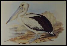 John Gould Australian Pelican Bird British Museum Official Limited Print