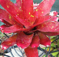 BROMELIAD Neoregelia FIRST PRIZE Well Stacked Well Rounded Gorgeous Hybrid!