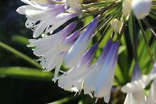 Schmucklilie Agapanthus Queen Mum - größte Blütenbälle aller blau-weißen Sorten
