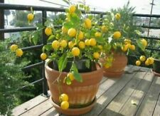 2 Lemon INDOOR Tree Seeds RARE Potted Plant Garden Bonsai Plants UK SELLER