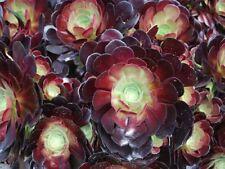 Succulent Live Plant - Aeonium Arboreum- Black Rose- 3pcs