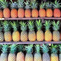 20 Stk Ananas Samen Pineapple Seeds winterhart sehr leckere Früchte