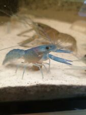 More details for   one  x   neon blue lobster/crayfish - tropical fish tank cleaner  - high grade