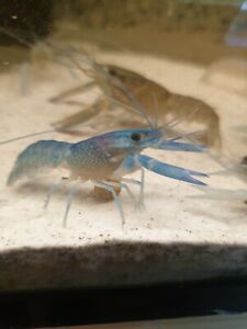 One  x   NEON BLUE LOBSTER/CRAYFISH - Tropical Fish Tank Cleaner  - high grade