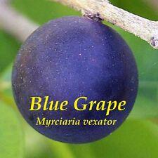 ~BLUE GRAPE~ Blue Jaboticaba FRUIT TREE Myrciaria vexator Small potd Plant