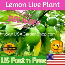 "LIME PLANTS LEMON Tree Citrus cay chanh ning meng 拧檬 เลมอน 레몬 レモン 8-12"" plants"