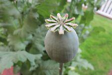500-TASMANIAN Poppy Seeds Purple Haze Papaver Somniferum FreshSeeds! High Germ