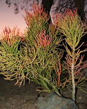 9 cuttings Pencil Cactus Euphorbia Tirucalli Sticks on Fire Succulent Cuttings