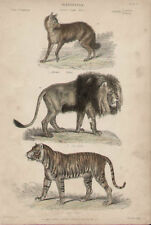 Jackal Lion Tiger by Landseer 1846 Antique Art Print