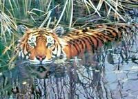 Limited Edition Print (mounted) - Tiger Cooling Off - Steven Townsend