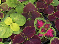 Coleus Improved Rainbow Mix Seeds Shade Loving/House Plant Lovely Colour Annual