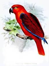 VERNICE ILLUSTRAZIONE Bird Parrot ECLECTUS Cornelia WOLF Ornitologia stampa bb8519