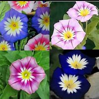 MORNING GLORY DWARF COLLECTION 80 SEEDS Medicinal Herbal Containers USA Heirloom