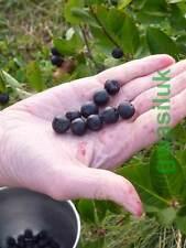 ARONIA MELANOCARPA BLACK CHOKEBERRY 40 SEEDS NON GMO FREE FRUIT SAMPLE 95% GERM.