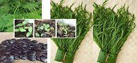 10 Seeds Thai Cha-om Acacia,Senegalia Pennata from my garden