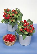 Vegetable - Tomato - Red Robin - 100 Seeds - Large