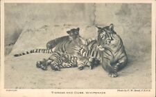 Postcard Tigers tigress & Cubs Whipsnade unposted