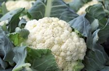 CAULIFLOWER 'Snowball' 150 seeds ORGANIC vegetable garden  easy BOONDIE SEEDS