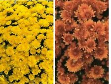 Rustic Colors Garden Mums/Belgian Mums Annual-Now 12 Flowering Plants/Plugs