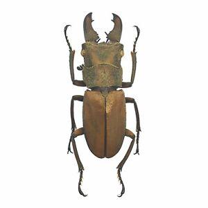 Tiny Longjaw Beetle cyclommatus dehaani Insect Specimen Taxidermy