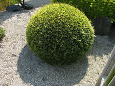 Zwerglebensbaum Thuja occidentalis Danica Naturkugel Zwergsorte 15-20cm