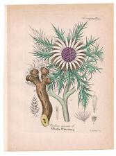 Antique Botanical Print  Carlina Acaulis Artus-Kirchner-1876