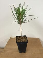 "Mikawa Japanese Black Pine, Pre Bonsai Seedling Stock. 2 1/4"" Potted"
