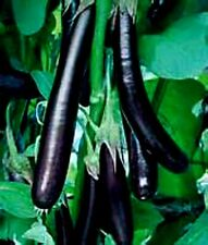 Long Purple Eggplant 25+ Seeds Comb S/H - Over 1000 heirloom seeds in our store!