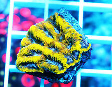 Gwc Gold Mine Favia Zoanthids Palythoa Paly Zoa Soft Coral Wysiwyg
